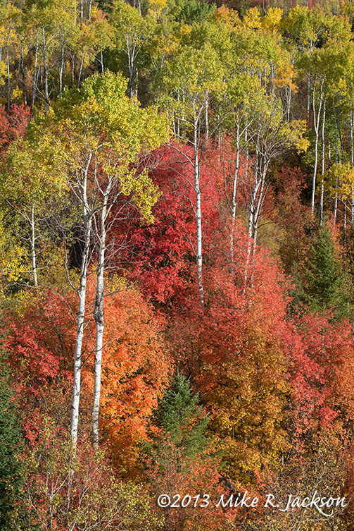 Aspens & Maples October 2
