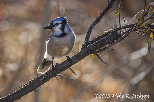 Blue Jay On Branch Nov9