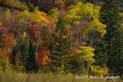 Canyon Aspens October 2