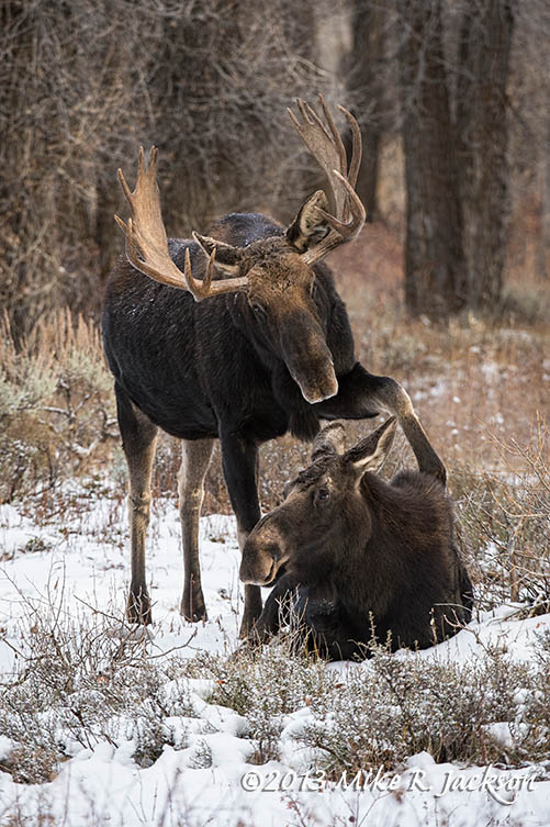 Moose Prodding Cow Nov3
