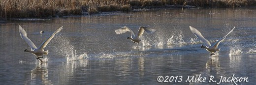 Swans Take Off Nov12
