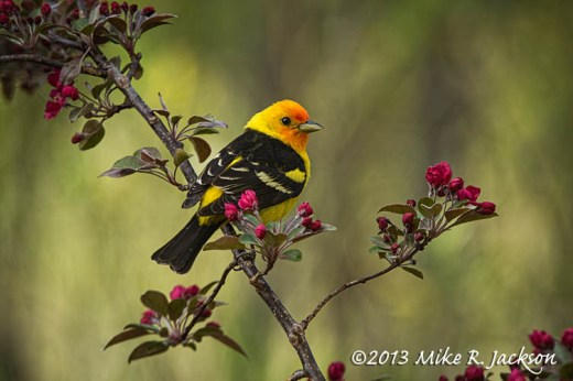 Tanager Male 1_June2