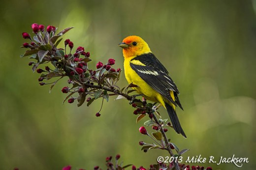 Tanager Male 2_June2