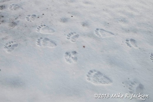Web Bear Tracks Nov9