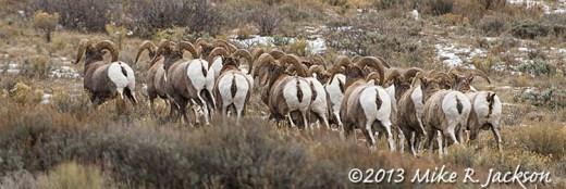 Web Bighorn Herd Nov20