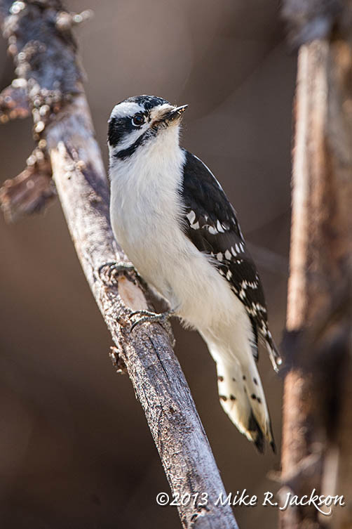 Web Downey Woodpecker Nov9