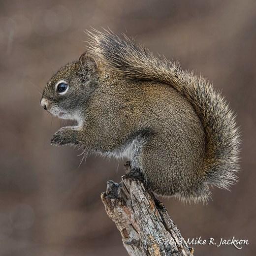 Web Red Squirrel Nov19