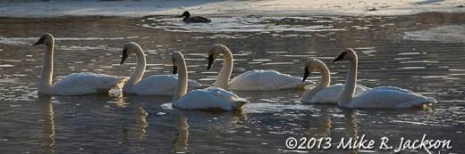 Web Swan Parade Nov27