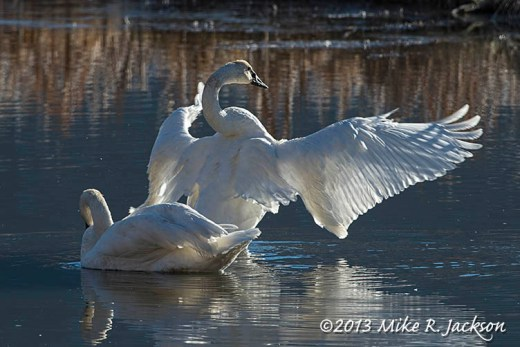 Web Swan Stretch Nov12