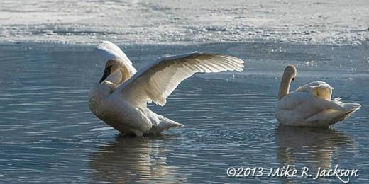 Web Swan Stretch Nov27