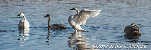 Web Swans Nov11