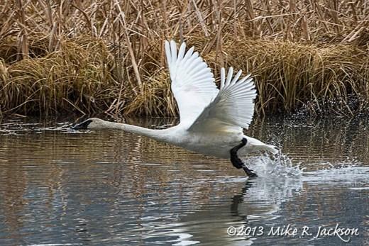 Web Trumpeter Swan Take Off Nov13