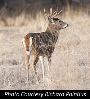 Pontius Whitetailed Deer