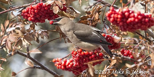 Web Cedar Waxwing Dec6