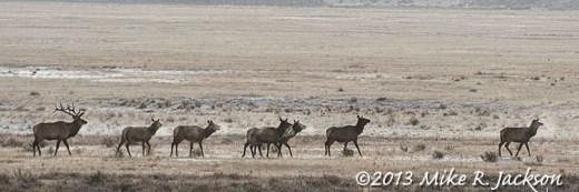 Web Elk On The Refuge Dec5
