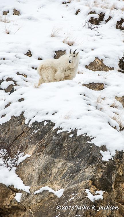 Web Goat Above Rocks Dec22
