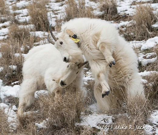Web Goat Scuffle Dec13