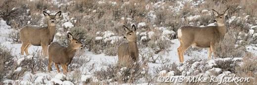 Web Mule Deer Dec13