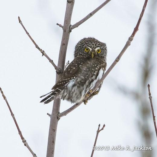Web Pygmy Owl Dec31