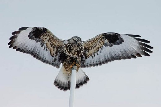 Web Ruff-legged Hawk 2005