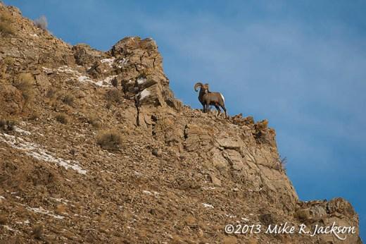 Bighorn On Rock Ledges Dec14