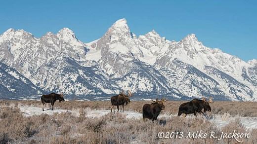 Parade of Moose Dec27