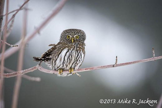 Pygmy Owl On Branch Dec31