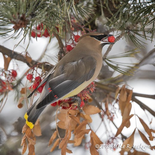 Waxwing With Red Berry Dec29