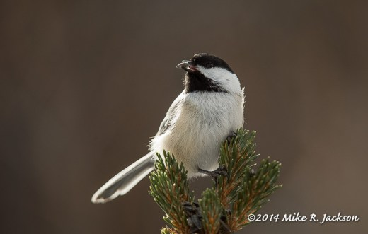 Web Black-capped Chickadee on Spruce Jan7
