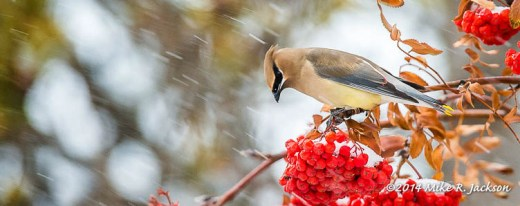 Web Cedar Waxwing Snow Fall Jan9