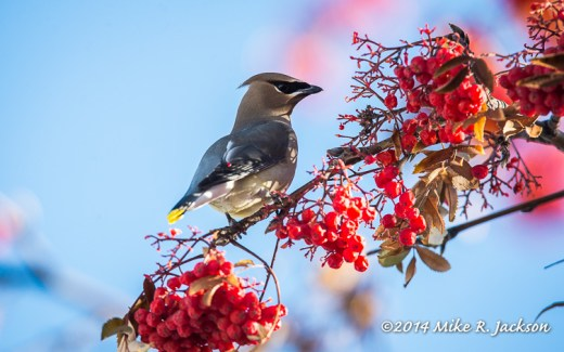 Web Cedar Waxwing Jan5
