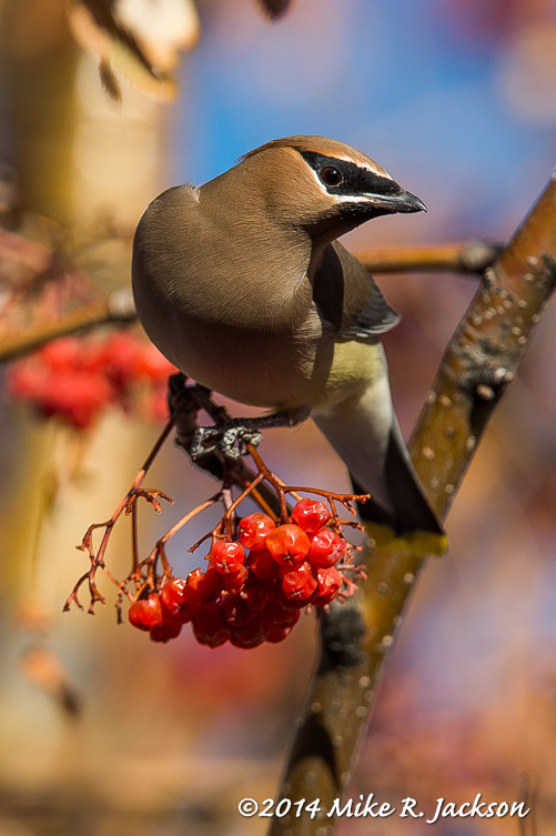 Web Cedar Waxwing Jan18