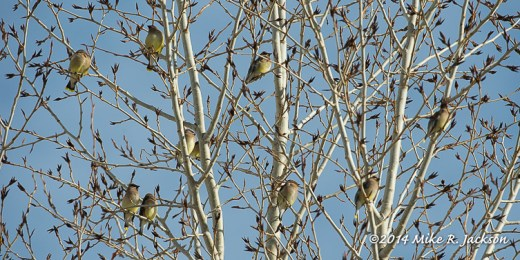 Web Waxwings In Aspen Jan14