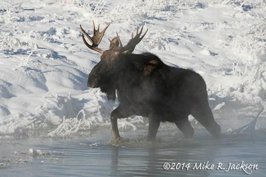 Young Bull Moose In Springs Dec27