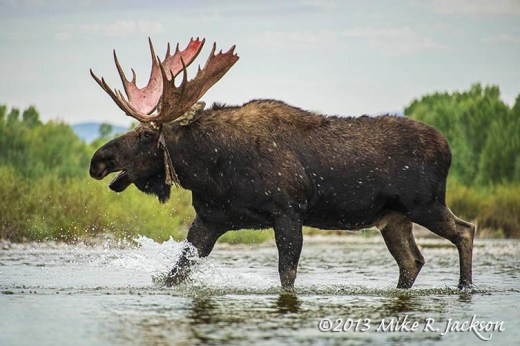 Bull Moose Crossing Stream