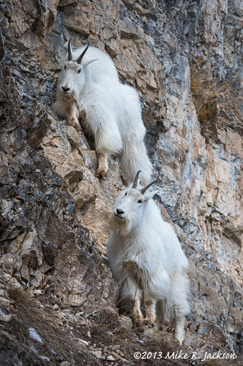 Goats on Rocky Ledges