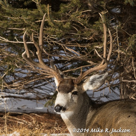 Web Buck Mule Deer Feb1