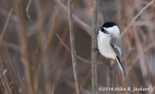 Web Black-capped Chickadee Feb4