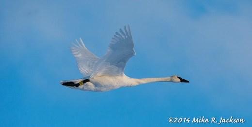 Web Swan Tagged Feb10