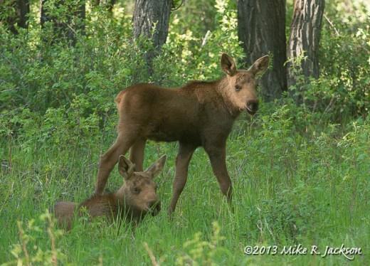 Baby Moose June6