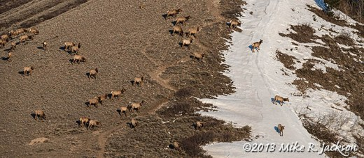Elk Herd April18