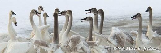 Swan Huddle