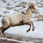 Web Bighorn Jumping Mar4