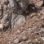 Web Bighorn Ram In Rocks Mar4