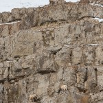 Web Bighorn Sheep Mar4