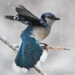 Web Blue Jay Spinning Mar1
