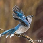 Web Blue Jay Mar30