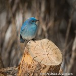 Web Bluebird Mar24