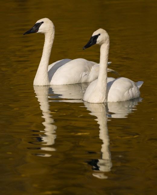 Web Fall Swans