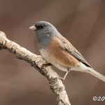 Web Dark-eyed Junco Mar26